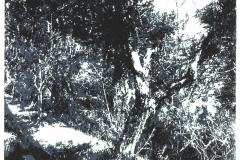 Oliveto-Variation II